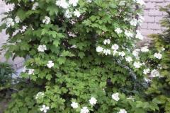 Die wunderbar duftende Hortensie im Hof